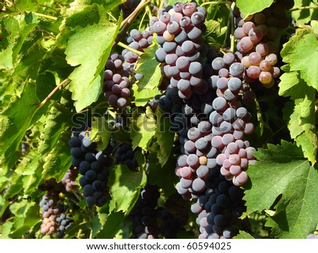 growing grape clusters on the branches - stock photo