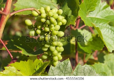 Growing grapes in the vineyard. Growing wine for sale. Young grapes on the vine. - stock photo