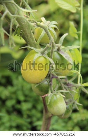 Growing green tomatoes on branch