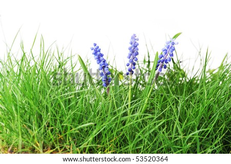 Growing hyacinth flower in  green grass - stock photo