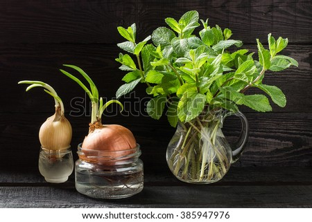 Growing mint and green onions in water at home. Fresh sprigs mint with roots in a jar and onions in banks - stock photo