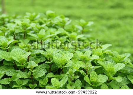 Growing mint in organic farm - stock photo