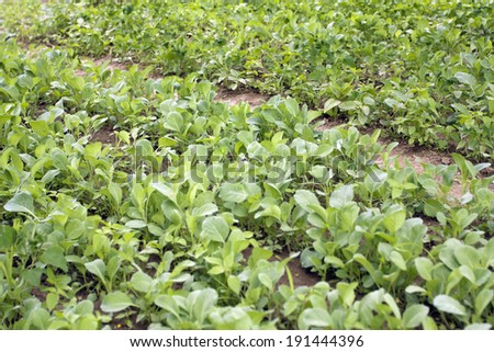 Growing of cabbage on a farmer vegetable garden in spring