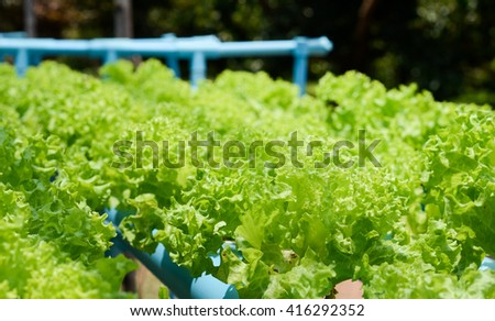 Growing organic Vegetables plots cultivation farms for Background. Green leaf Hydroponic farm. - stock photo