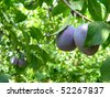 Growing plums on a tree in summer close-up - stock photo