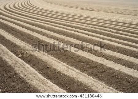 Growing potatoes in a field / Field - stock photo