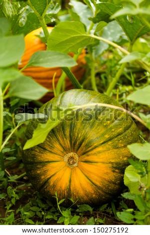 Growing pumpkins in organic vegetable garden. - stock photo