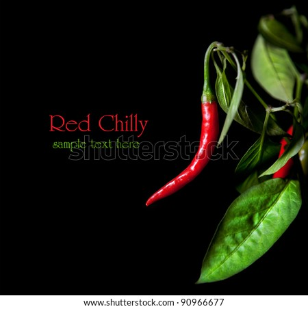 Growing red chilly with leaves at black background. Free space for sample text and can be used as template - stock photo
