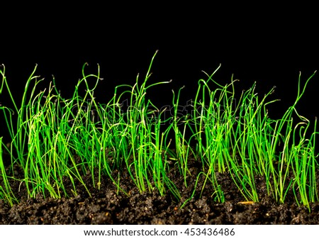 Growing spring onions on a black background