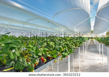 Growing strawberries in greenhouses - stock photo