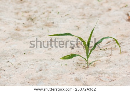Growing sweet corn seedlings. Food is a raw material - stock photo