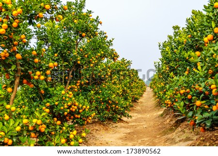 Growing Tangerines - stock photo