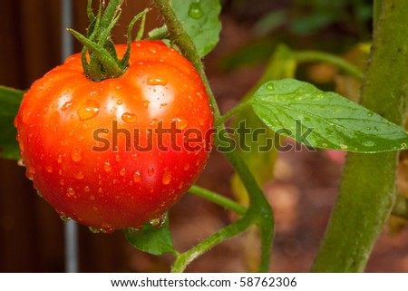 Growing tomato in the garden with water drops - stock photo