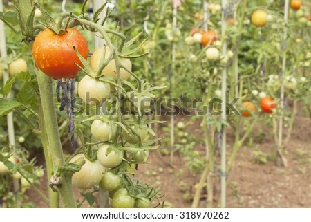 Growing tomatoes on a domestic garden. Wet tomatoes in the morning sun. Overnight rain. Ripening vegetables in a home garden. Drops of water after rain on tomato fruit. Blurred background.