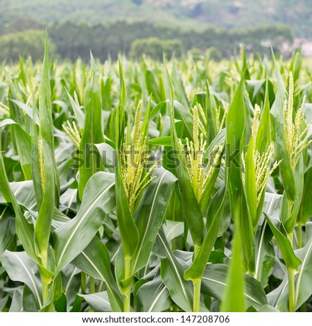 growing up of green corn field. - stock photo
