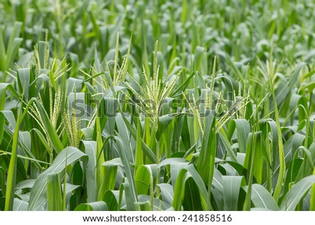 growing up of green corn field - stock photo