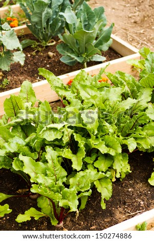 Growing vegetables in organic vegetable garden.