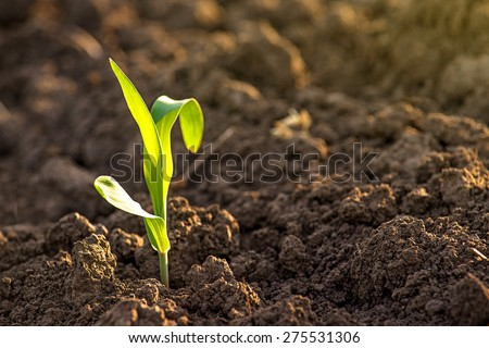 Growing Young Green Corn Seedling Sprouts in Cultivated Agricultural Farm Field, Selective Focus with Shallow Depth of Field - stock photo