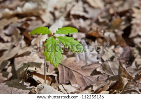 Growing young oak tree from dry leves - stock photo