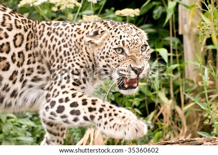 Growling Persian Leopard
