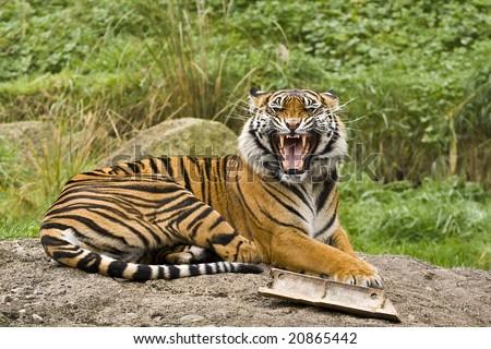 Growling Sumatran Tiger - stock photo