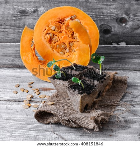 Grown in a peat pot from sprout pumpkin seeds - stock photo