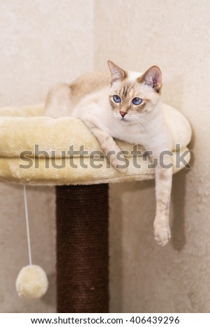 Grown up female white Mekong bobtail cat - stock photo