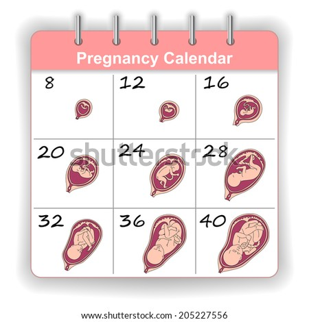 Growth of a human fetus on the weeks calendar - stock photo