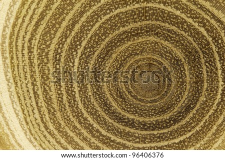 Growth rings of acacia tree - cross section - stock photo
