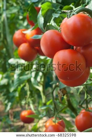 growth tomato - stock photo