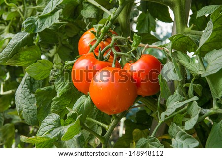 growth tomatoes in a greenhouse