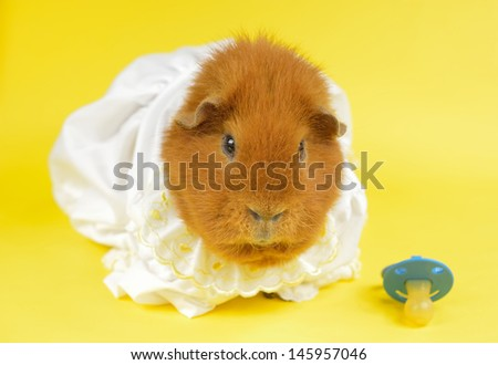grumpy pig in baby dress - stock photo