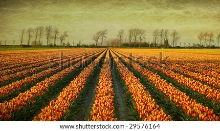 grunge image of a field with tulips