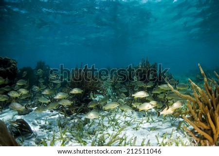 Grunts swimming on the reef over turtle grass - stock photo