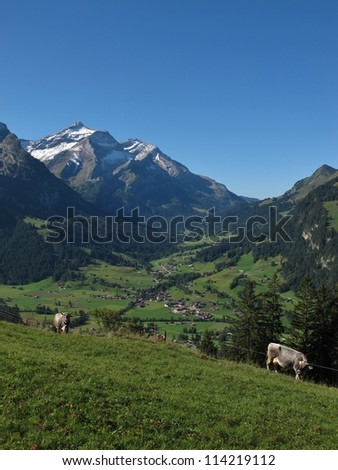 Gsteig Bei Gstaad, Oldenhorn And Cows - stock photo