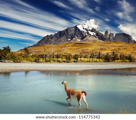 Guanaco crossing the river in Torres del Paine National Park, Patagonia, Chile - stock photo
