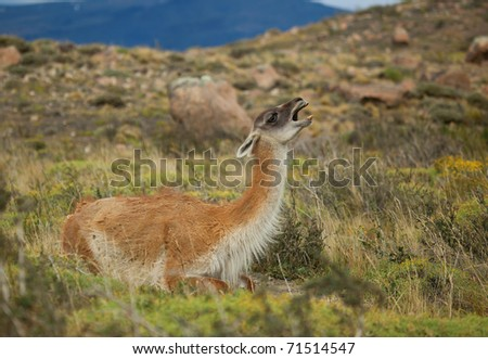 Guanaco in Torres del Paine national park of Chile