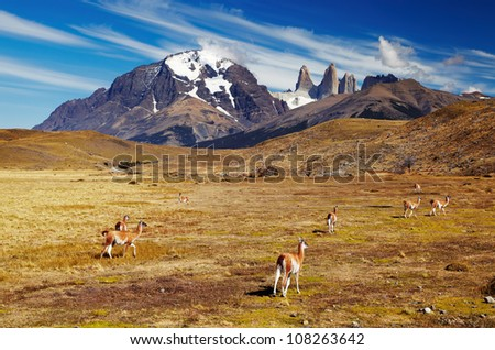 Guanaco in Torres del Paine National Park, Patagonia, Chile - stock photo