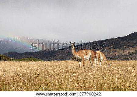 Guanacos in the grass close to the torres del paine national park. With a Rainbow in the background