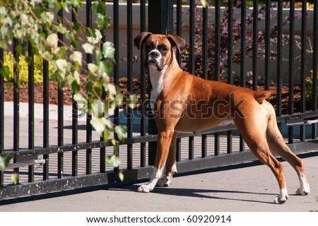 Guard Dog on Duty - stock photo