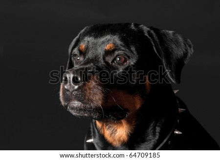 guard rottweiler portrait - stock photo