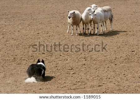 Sheep Herding Dog Stock Photos, Images, & Pictures | Shutterstock
