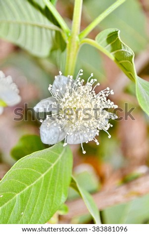 guava flower Tropical Fruits