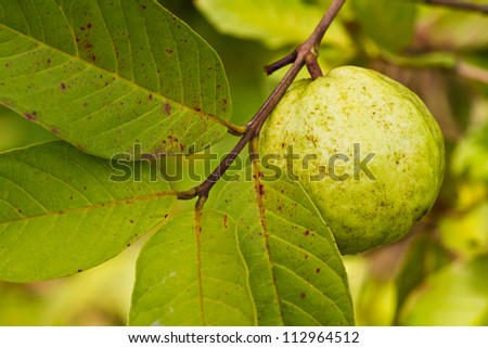 Guava leaves.