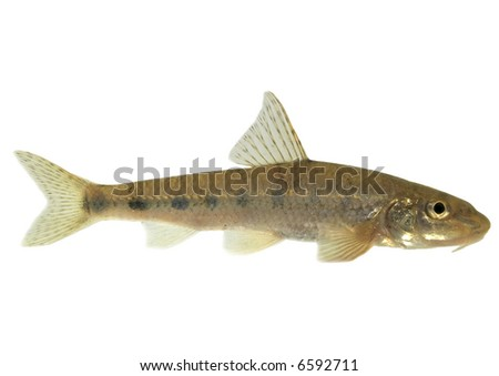 Gudgeon (fish) - isolated