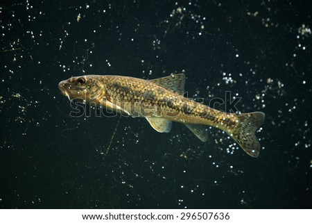 Gudgeon Stock Photos Images Pictures Shutterstock