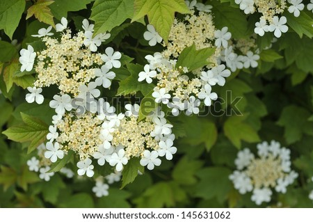 Guelder rose - Viburnum opulus - stock photo
