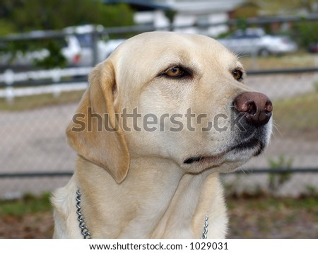 Guide dog off duty - stock photo