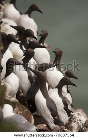 Guillemot at Fowlsheugh Bird Reserve Aberdeen, Scotland - stock photo