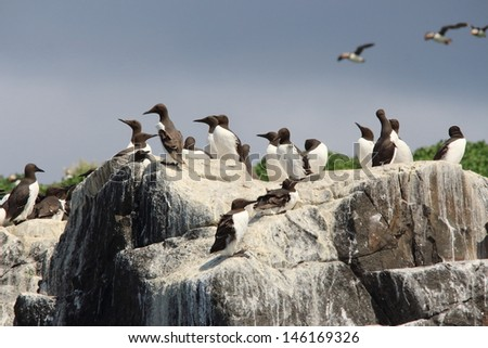 guillemot colony nests in cliff - stock photo